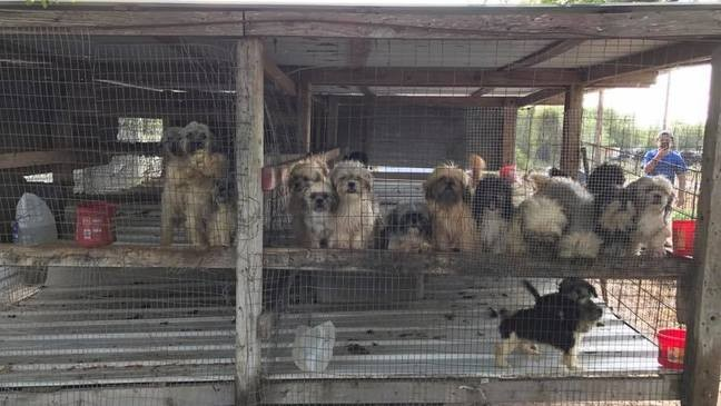 17 Shih Tzu puppies rescued from chick coop puppy farm | WOAI